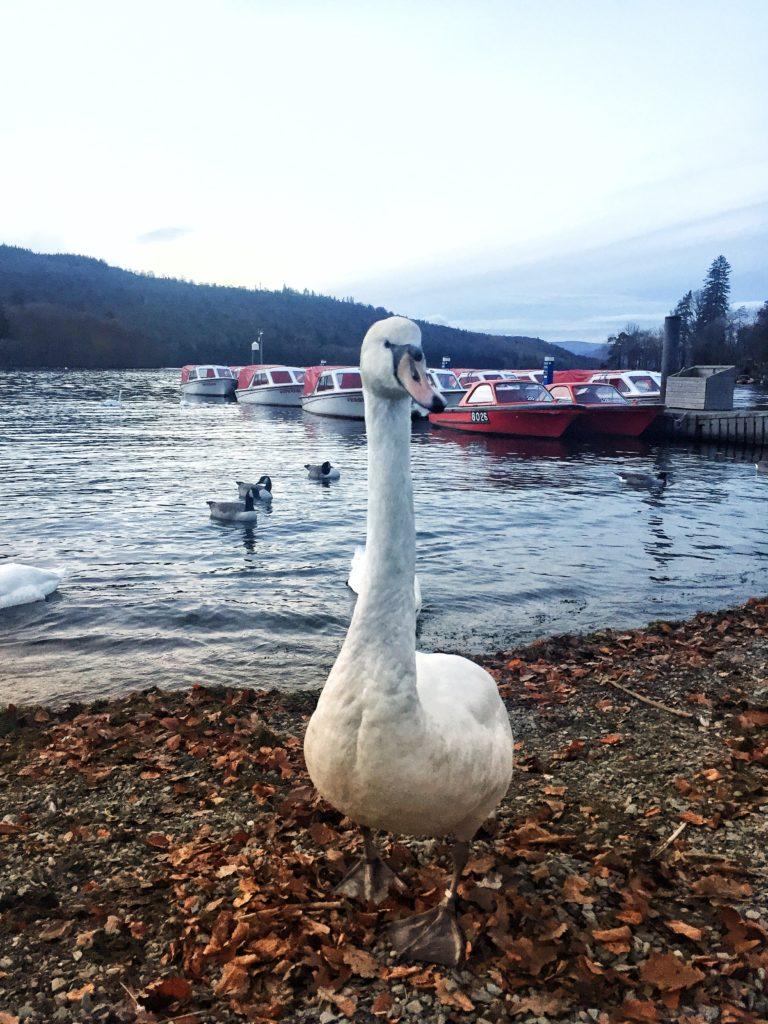 swan on windermere lake