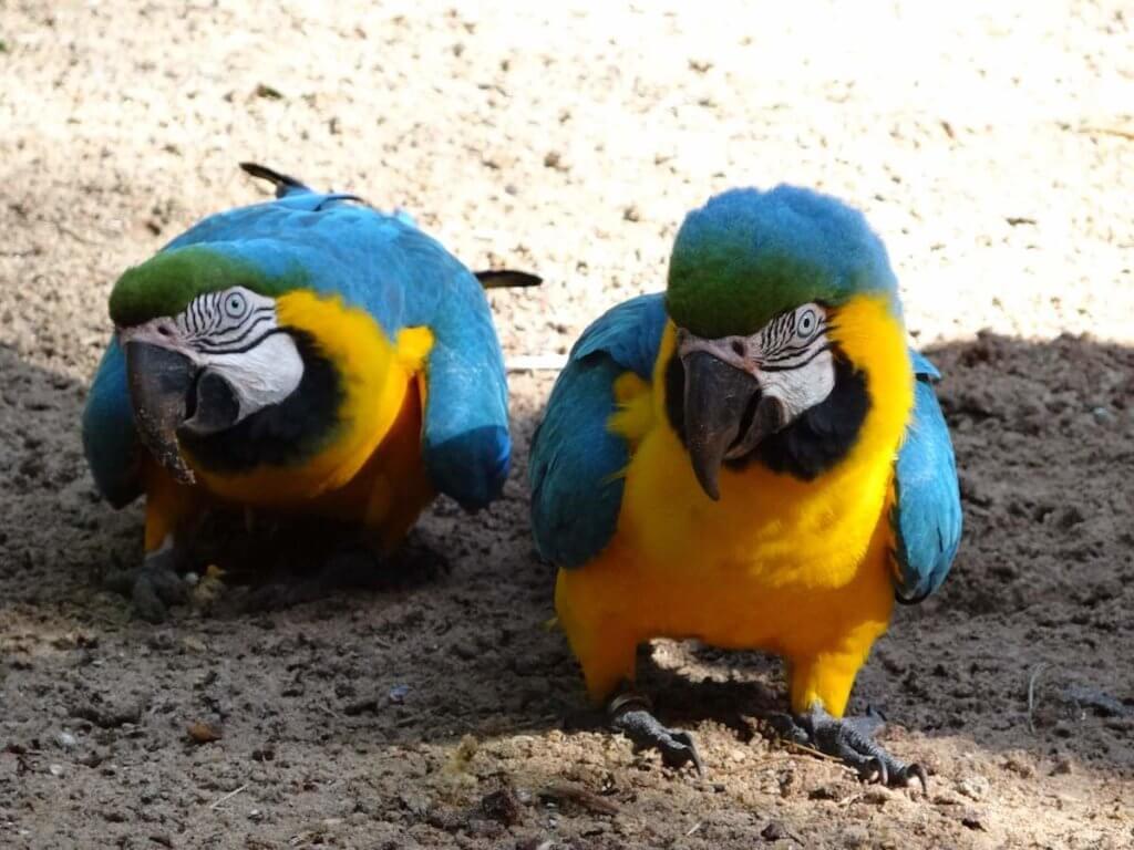 попугаи южная америка